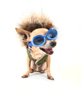 http://www.dreamstime.com/stock-photo-goggle-chihuahua-image27930960